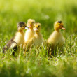 Little cute ducklings on green grass, outdoors — Stock Photo #48322077