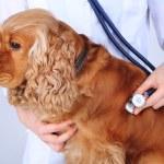 English cocker spaniel in veterinarian — Stock Photo #48323263