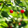 Red cherries on tree branch — Stock Photo #48328303