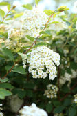 Beautiful spirea flowers, outdoors — Stock Photo