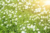 Beautiful flax in the field — Stok fotoğraf