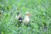 緑の小さなかわいいアヒルの子は草、屋外 — ストック写真