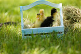 Little cute ducklings  in wooden basket on green grass, outdoors — Stock Photo