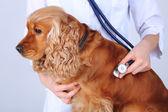 English cocker spaniel in veterinarian   — Photo