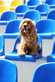 English cocker spaniel at stadium — Photo