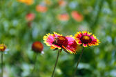 Gaillardia (Blanket Flower) in bloom, outdoors — Stock Photo