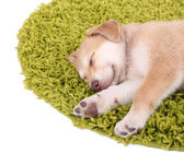 Little cute Golden Retriever puppy on green carpet, isolated on white — ストック写真