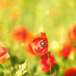 Meadow with beautiful bright red poppy flowers in spring — Stock Photo