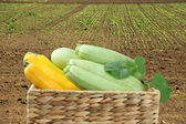 Vegetable marrow on green field background — Stock Photo