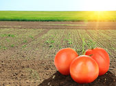 Tomatoes on green fields background — Stock Photo
