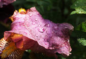 Flower petals with raindrops — Stock Photo