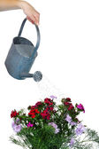Water can watering flowers — Stockfoto