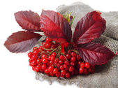 Red berries of viburnum on sackcloth napkin, isolated on white — Photo