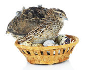 Young quail with eggs isolated on white — Stock Photo