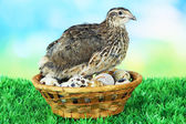 Young quail with eggs on grass on blue background — Stock Photo