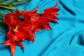 Beautiful red tulips on blue satin background — Stock Photo