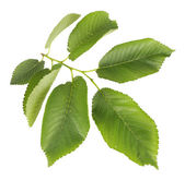 Hermoso verde rama aislado en blanco — Foto de Stock