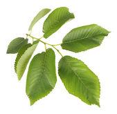Piękna zielona gałązka na białym tle — Zdjęcie stockowe