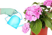 Process of caring for  hydrangea flower isolated on white — Stock Photo