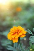 Orange french marigolds (Tagetes patula), outdoors — Stock Photo