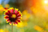 Gaillardia (Blanket Flower) in bloom, outdoors — Stok fotoğraf