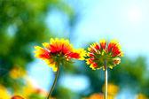 Gaillardia (fiore di coperta) in fiore, all'aperto — Foto Stock