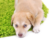 Little cute Golden Retriever puppy on green carpet, isolated on white — 图库照片