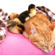 Red cat with cute ducklings on pink pillow close up — Stock Photo #48449505