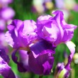 Постер, плакат: Beautiful irises outdoors