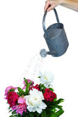 Water can watering flowers isolated on white — Stock Photo