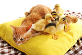 Red cat with cute ducklings on yellow pillow close up — Stock Photo