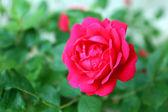 Vacker ros i trädgården — Stockfoto