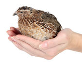 Young quail in hands — Stock Photo