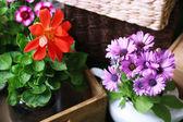 Beautiful flowers in pots — Stok fotoğraf