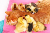 Red cat with cute ducklings — Stock fotografie