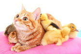 Red cat with cute ducklings on pink pillow — Stock fotografie