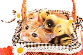 Red cat with cute ducklings in basket — Stock fotografie
