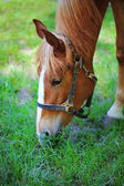 Beautiful brown horse in pasture — Stock Photo