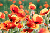 Bright red poppy flowers — Stok fotoğraf