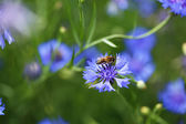 Beautiful cornflowers in the field — 图库照片