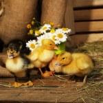 Little cute ducklings in barn — Stock Photo #48714049