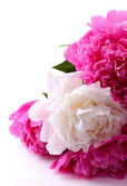Beautiful pink and white peonies — Stock Photo
