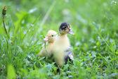 Little cute ducklings on green grass — Stock Photo