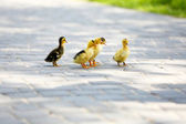 Little cute ducklings — Stock Photo
