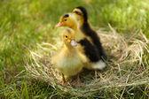 Little cute ducklings on hay — Stock Photo