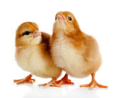 Little cute chickens — Stock Photo