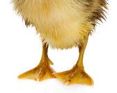 Little cute duckling legs — Stock Photo