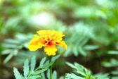 Orange french marigolds (Tagetes patula) — Stock Photo