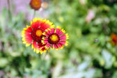 Gaillardia (Blanket Flower) in bloom — Stock Photo