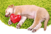 Little cute Golden Retriever puppy with red heart — Stock Photo